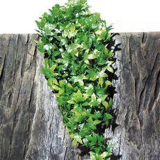 TerraPlanta Congo Efeu roślina do terrariów – 50cm